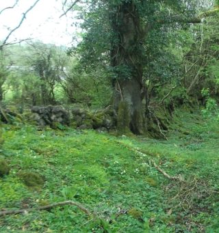 Rampart wall and tree on Ringfort, Liscune | B. Doherty
