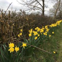 Daffodils in Milltown | Tony Murphy