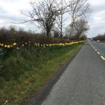 Daffodils along the N17 | Fran Murphy
