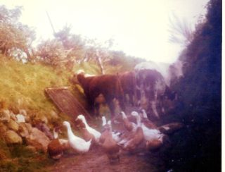 Ducks, geese and cows up the Curragh Lane | Dolly  family, Dangan