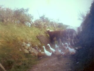 Ducks, geese and cows up the Curragh lane | Photo: Dolly family, Dangan