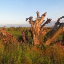 Cloonreddia - Bog Oak   Photo: B. Forde.