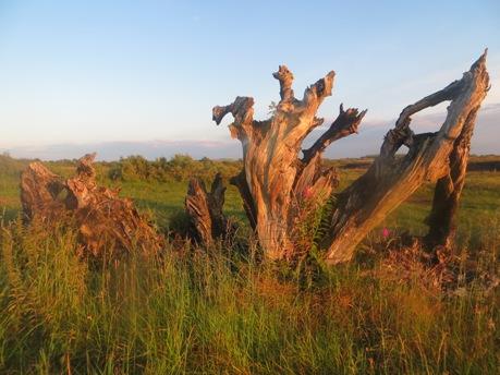 Bog Oak in Cloonreddia