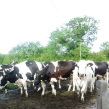 Dairy cows in Imanemore 2015   Photo: B. Forde