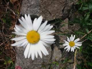 Large daisy, small white daisy. White flower with yellow centre | B. Doherty 2017