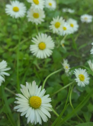 daisies growing in grass. White florets surrounding a yellow centrepiece | Cathy Seale 2017