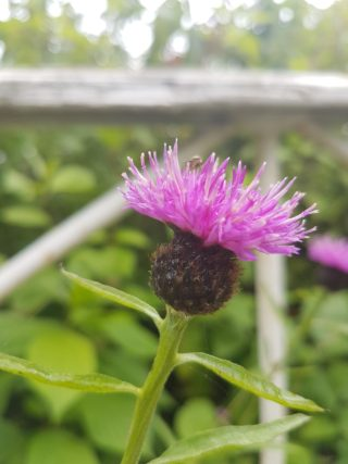 Common Knapweed, purple flower with green leaves resembling thistle | Cathy Seale 2017