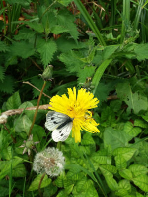 Green Veined White butterfly-on-dandelion | B. Doherty 2018