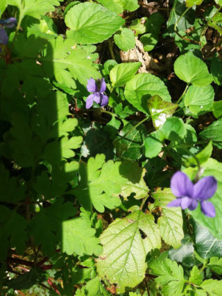 small purple flower with green leaves   B. Doherty 2018