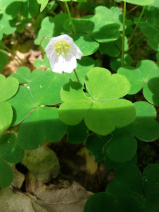 Wood Sorrel flower | B. Doherty 2018