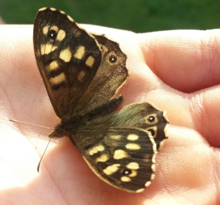 brown butterly with cream spotting | B. Doherty 2019