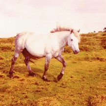 Connemara Pony owned by Willie Conneely. Willie was a well known breeder of Connemara Pony's. | Photo courtesy John Conneely