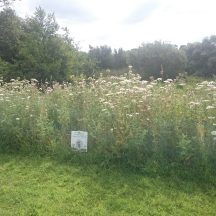 Fringe of meadow grassland next to amenity area