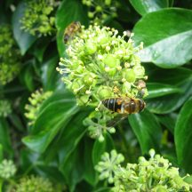 Honeybee on ivy flowers