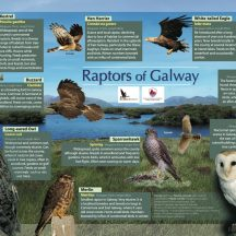 Raptors of Galway | John Lusby & Cathal Forkan