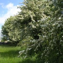 Hedgerow with hawthorn
