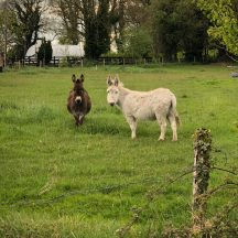 Two donkeys   Marian Donohue