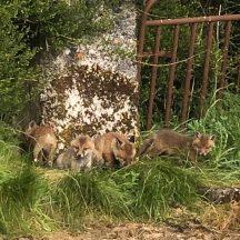 Fox cubs   Marian Donohue