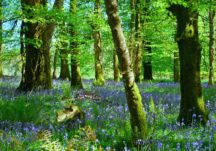 Bluebells carpeting the woodland floor in Aghrane Forest
