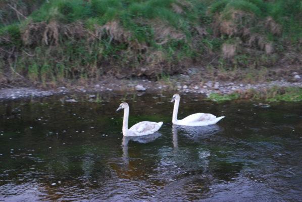 Swans | Paul Connolly