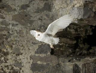 Barn Owl in flight   Mike Brown