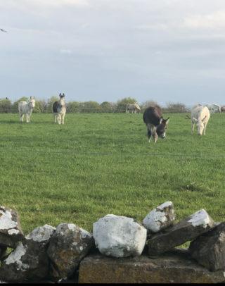 Donkeys at Turoe   Marian Donohue