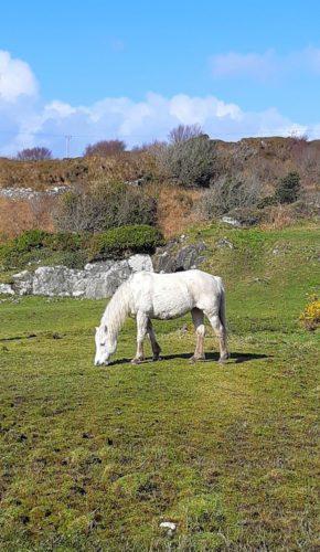 Pony grazing   Miryam Harris
