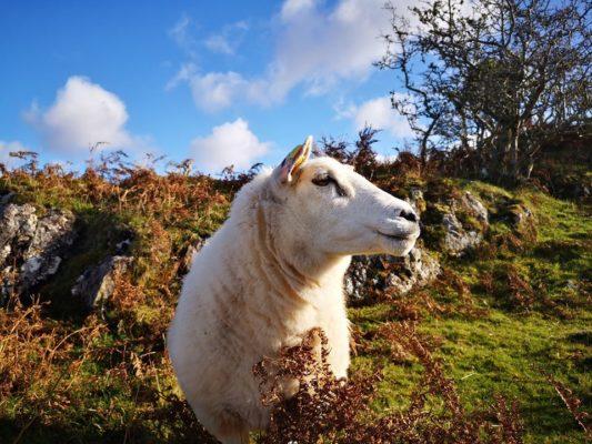 Sheep in Cashel   Gracie McDonagh