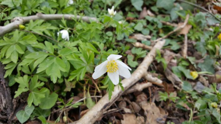 Coole Park spring flowers