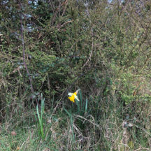 Daffodil in isolation   Marian Donohue