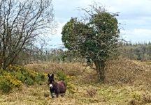 Donkey on Ballymageraghty Bog