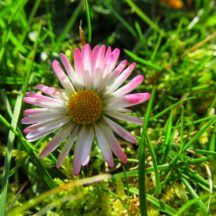Daisy, also important for pollinator | Michelle Mitchell