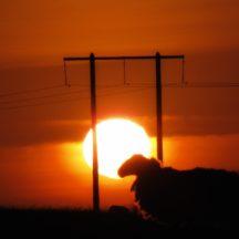 Ewe in sunset | Michelle Mitchell