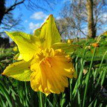 Daffodil | Michelle Mitchell