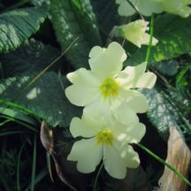 Primroses are in flower now in our woodlands, hedgerows and along road verges | Michelle Mitchell