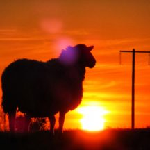 Sheep in Sunset | Michelle Mitchell