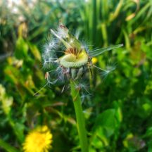 A dandelion flowerhead gone to seed | Michelle Mitchell