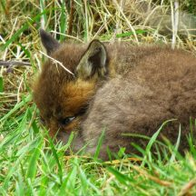 Fox cub | Michelle Mitchell