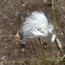 Bog cotton | Michelle Mitchell