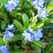 Forget-me-not | Michelle Mitchell