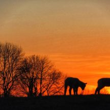 Lambs in sunset | Michelle Mitchell