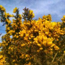 Gorse in bloom | Michelle Mitchell