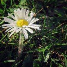 Daisy | Michelle Mitchell