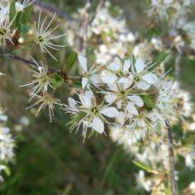 Blackthorn/ Draighean | Mary Lyons