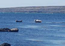 Seals off the Inis Oírr coast