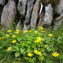 Spring Flowers in Inis Oírr | Paddy Crowe