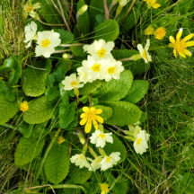 Primrose and lesser celandine | Paddy Crowe