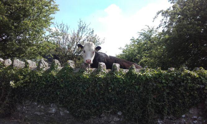Stone wall, Gardenfield, Tuam   Clare Doyle