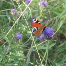 Peacock butterfly on Knapweed Flowerhead | Photo: Bernie Doherty