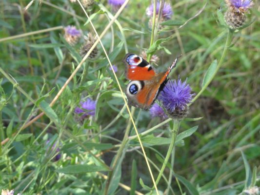 Peacock butterfly on Knapweed Flowerhead   Photo: Bernie Doherty